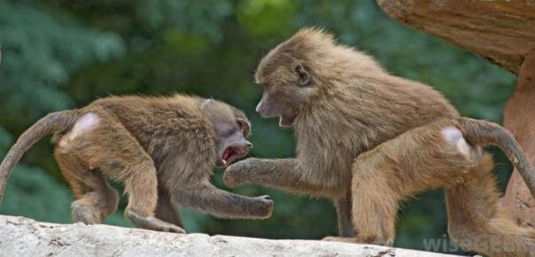 monkeys-fighting